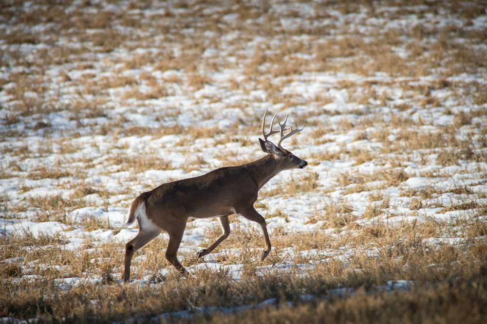 I moved to higher ground in order to capture this photo of a male whitetail deer. Thinking ahead in order to place yourself in the right spot is key to getting the photograph you envision. 1/800 @ f7.1, ISO 200.