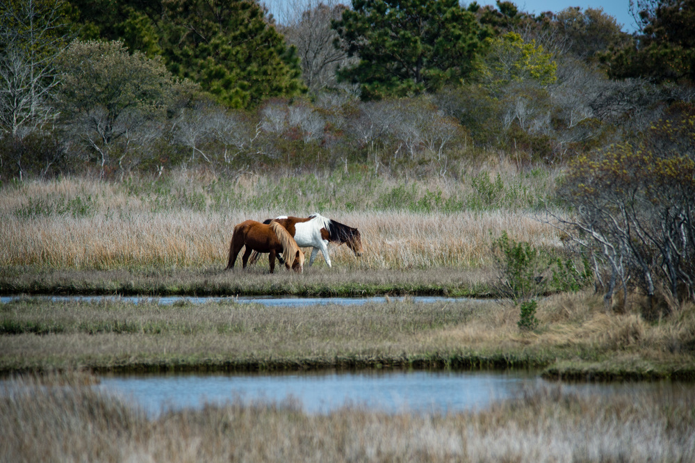 Assateague Horses. 1/2000 @ f5.6, ISO 400. Nikon D4S with a 300mm 2.8 and 2x teleconverter.