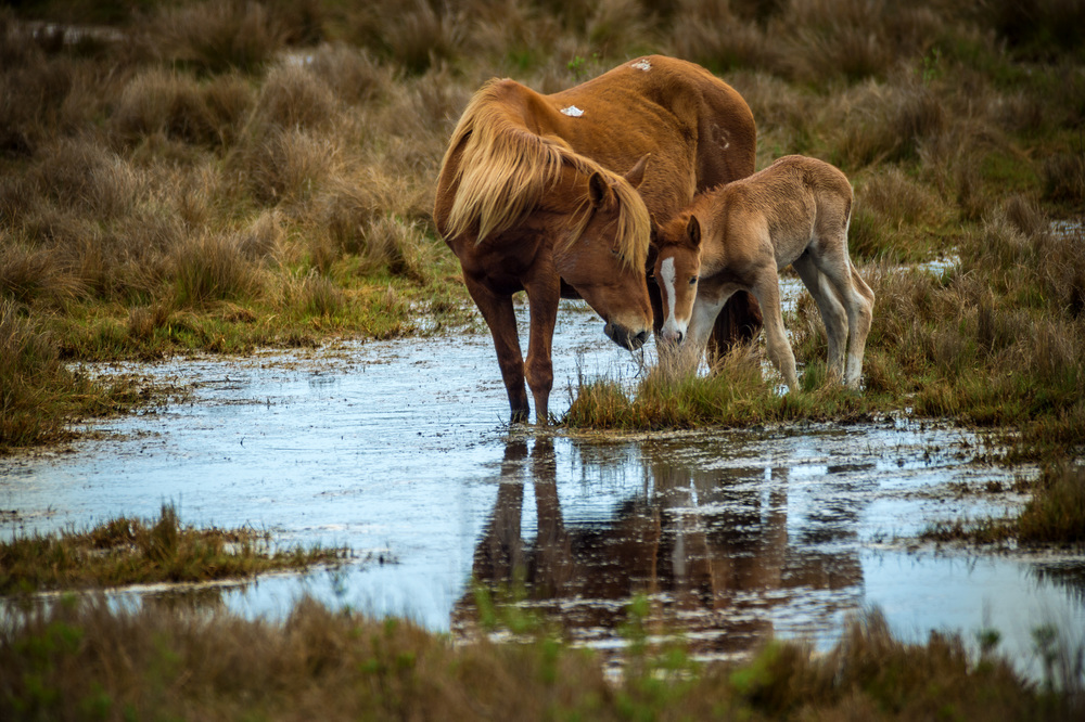 Chincoteague Ponies. 1/1600 @ f5.6, ISO 400. Nikon D4S, 300mm 2.8 with 2x teleconvertor.