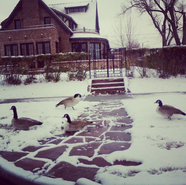 Geese a laying via courtney khail