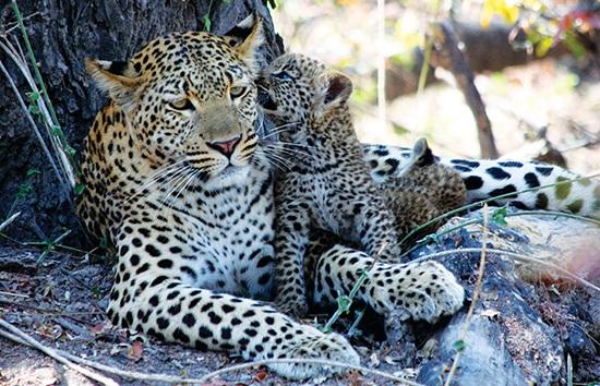 BW_Leopards.jpg