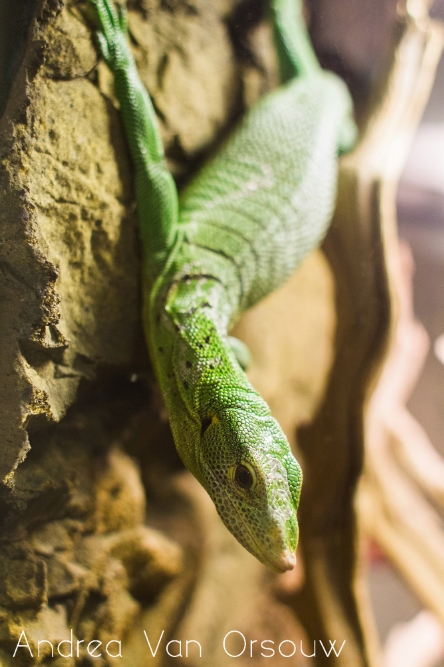 lizard_green_mystic_aquarium.jpg