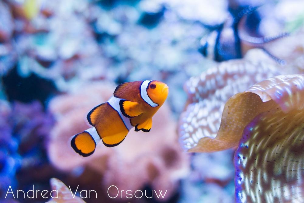 clownfish_aquarium_coral.jpg