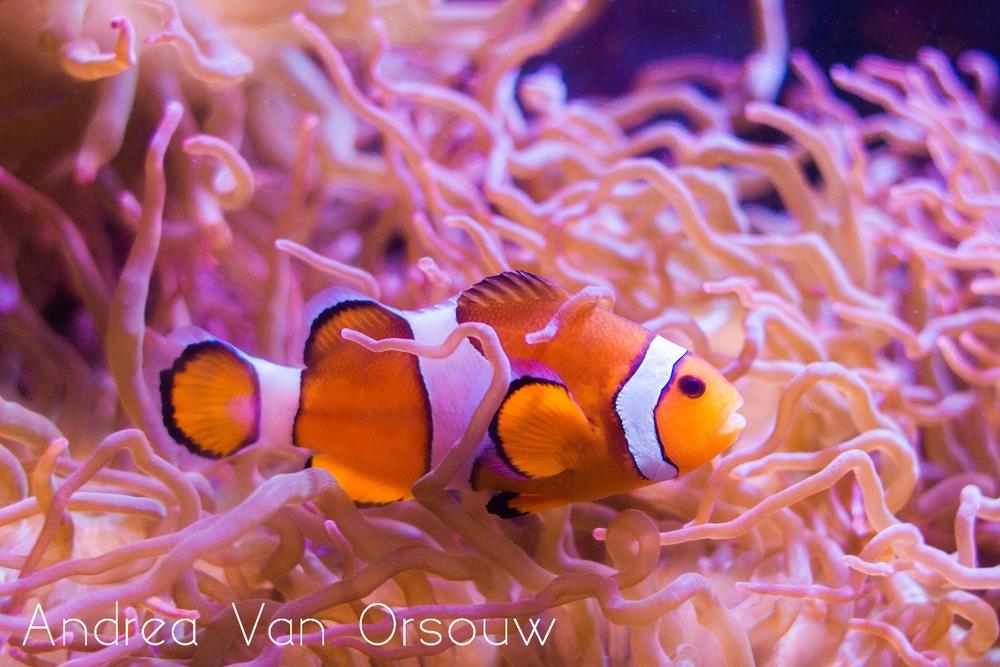 clownfish_anenome.jpg