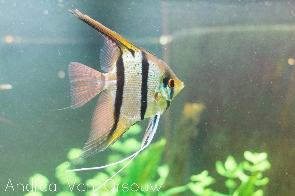 fish_aquarium_striped.jpg