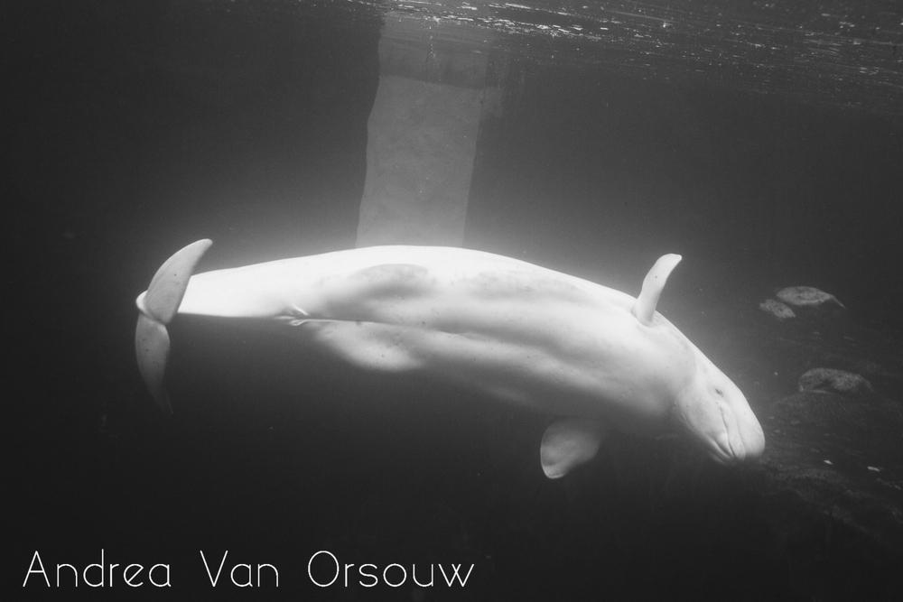 beluga_mystic_aquarium.jpg