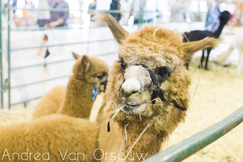silly_stupid_llama.jpg