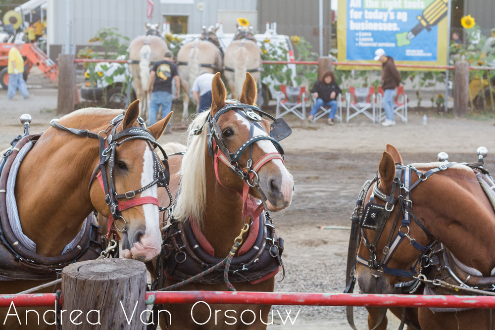gorgeous_horses_brown.jpg