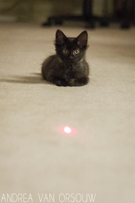 laser_pointer_playing_black_cat.jpg