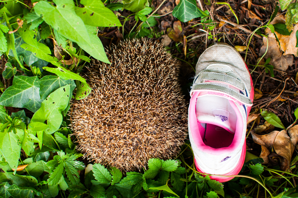 Backyard hedgehog (with Nadia's size 13 shoe). Hedgie gets fat on the compost scraps. Lucky little fella.