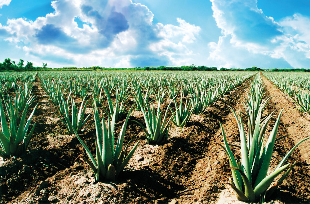 Quality from the Ground Up - Every Aloe Up product starts with Aloe plants that are organically grown and processed in the USA. The Aloe Barbadenis Miller plant is exclusively used by Aloe Up because of its hardy nature that does not require pesticides for protection. The plants are grown in the Rio Grande Valley of South Texas, considered by many as the best area for growing Aloe in the U.S.  The leaves of our Aloe Vera plants are harvested by hand and the valuable Aloe Vera Gel is extracted from each leaf.