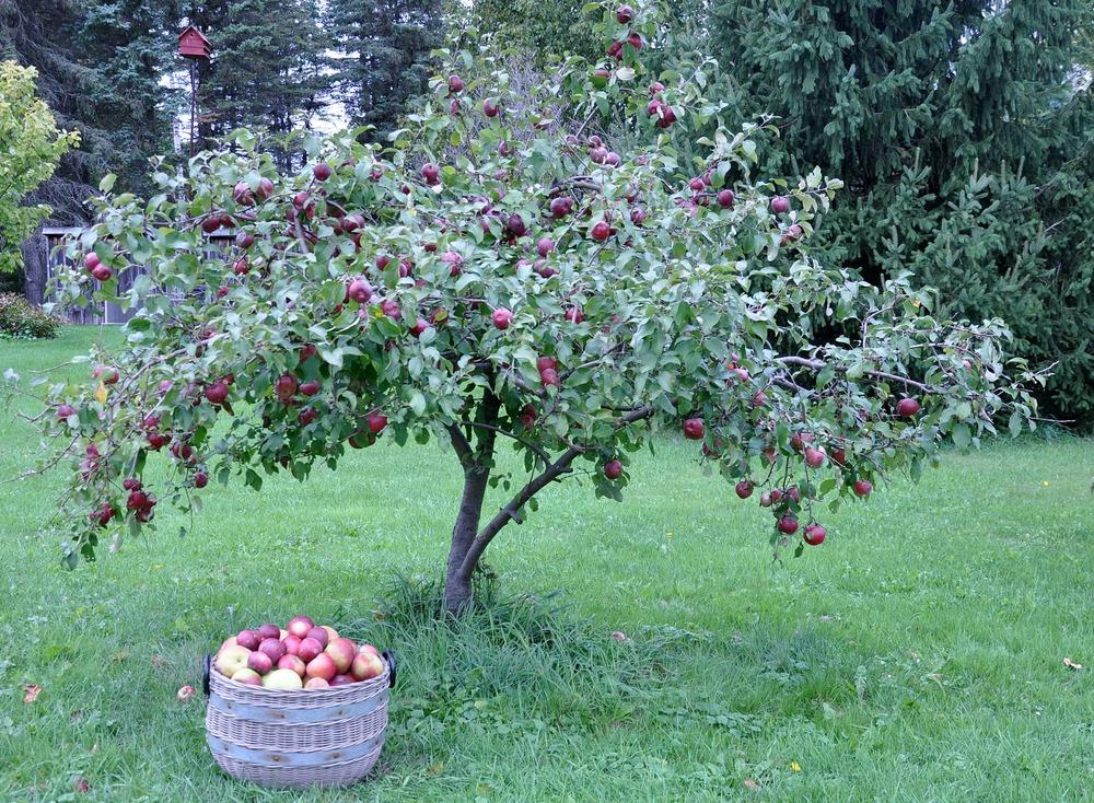 basket_of_apples_by_apple_tree
