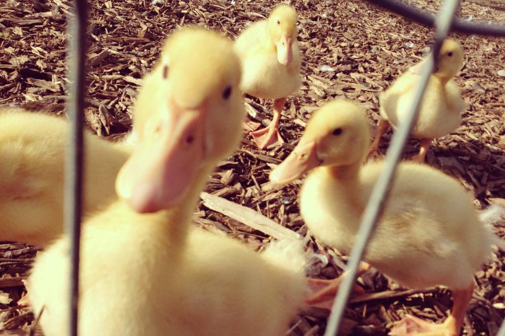 snack_generic_Ducklings.jpg