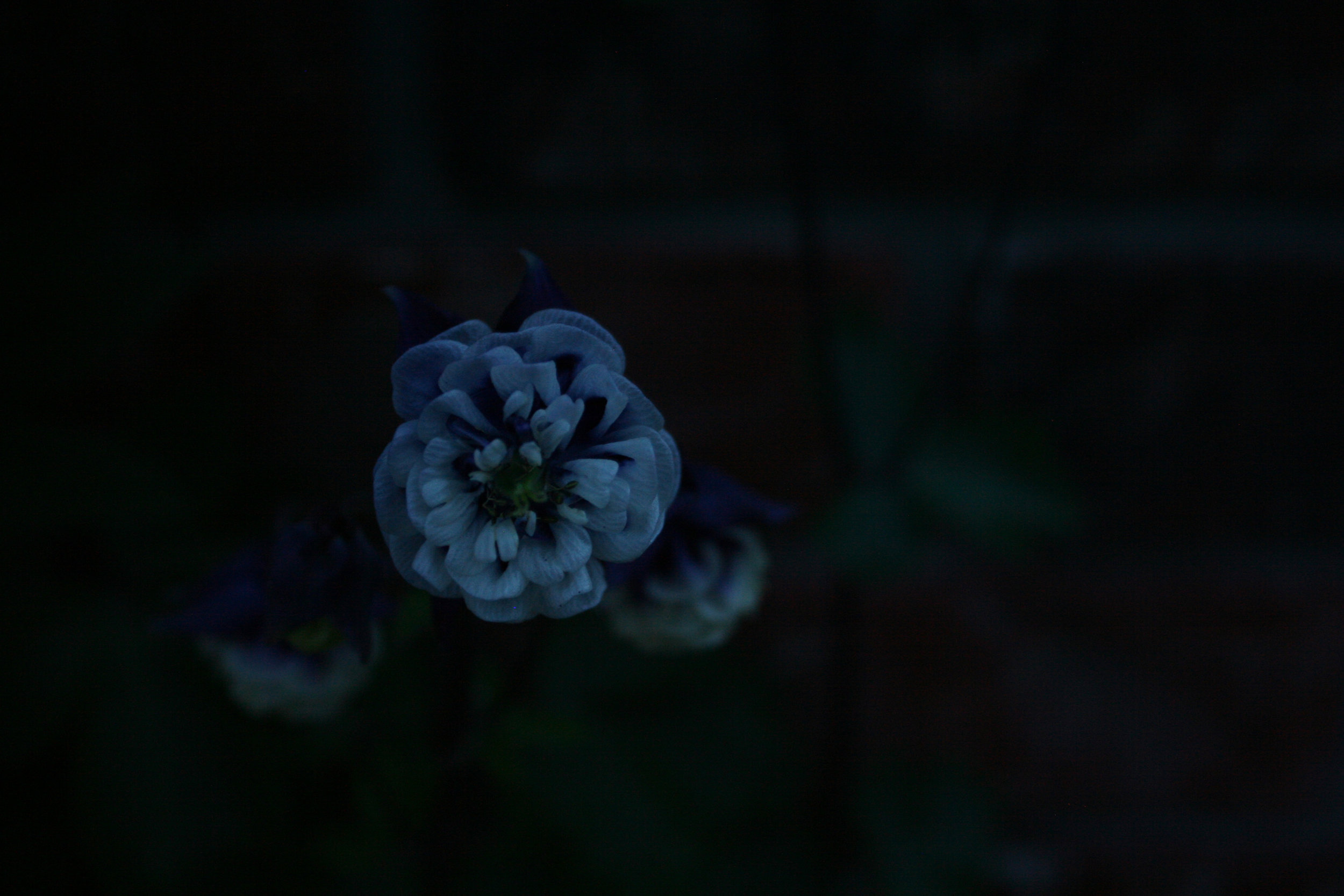 night photo of flower ~image by Kim