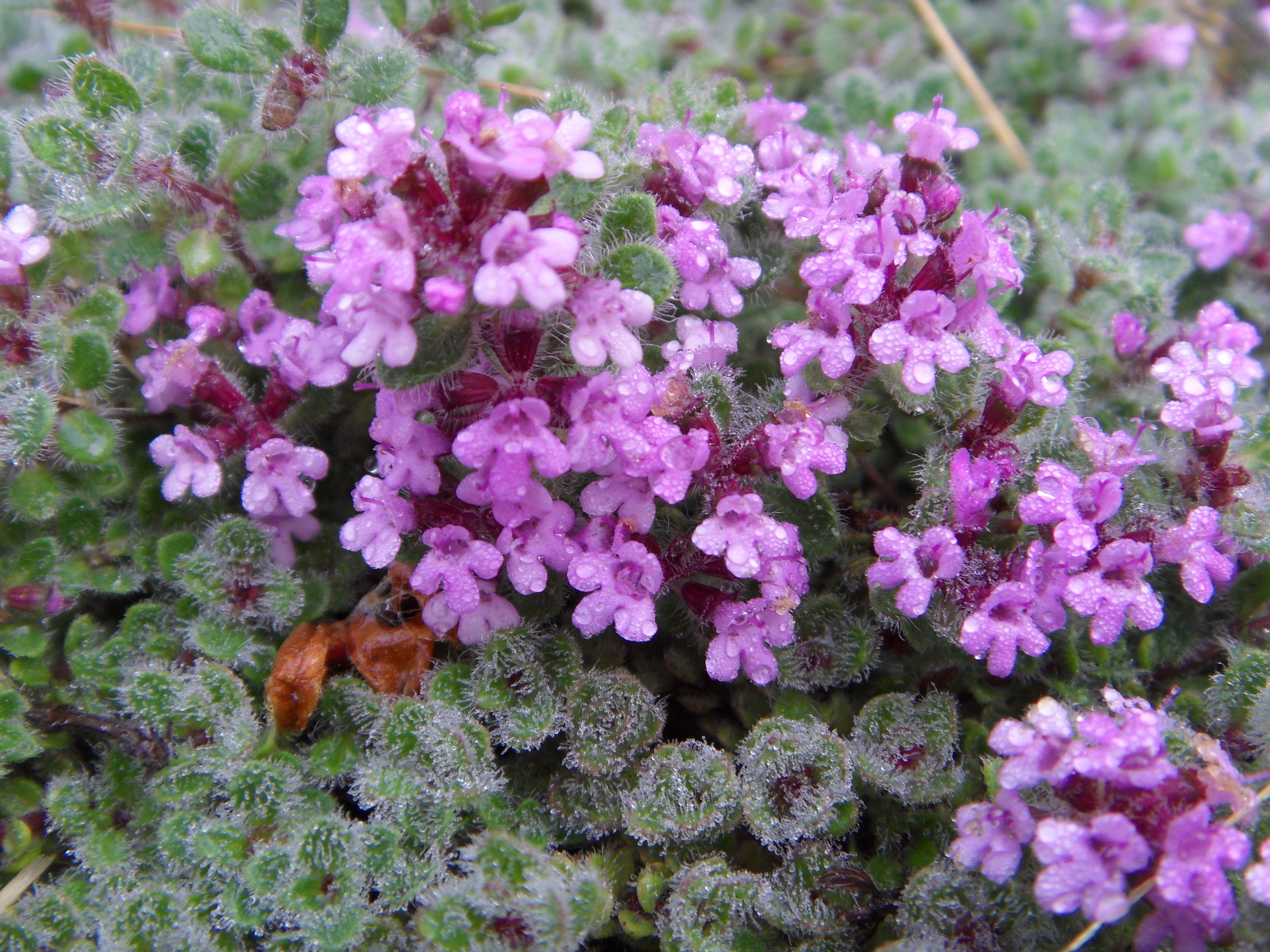 Woolly Thyme in bloom ~image by Kim