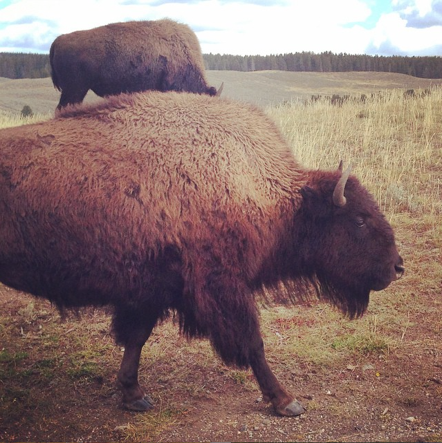 Buffalo, Yellowstone, WY  |  September 2014