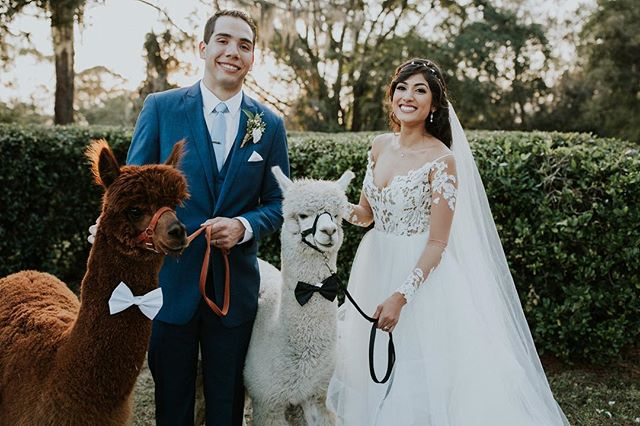 Alpacas at a wedding, need I say more??