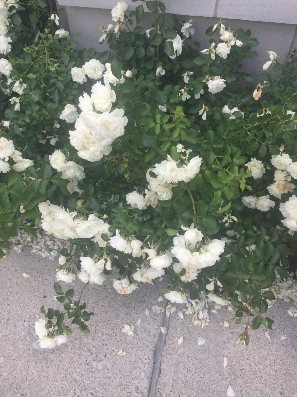 Love these roses outside Macy's! They're so blowsy pretty.