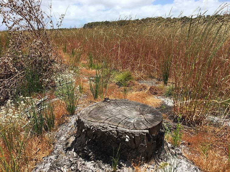 Stump in pasture resized.jpg