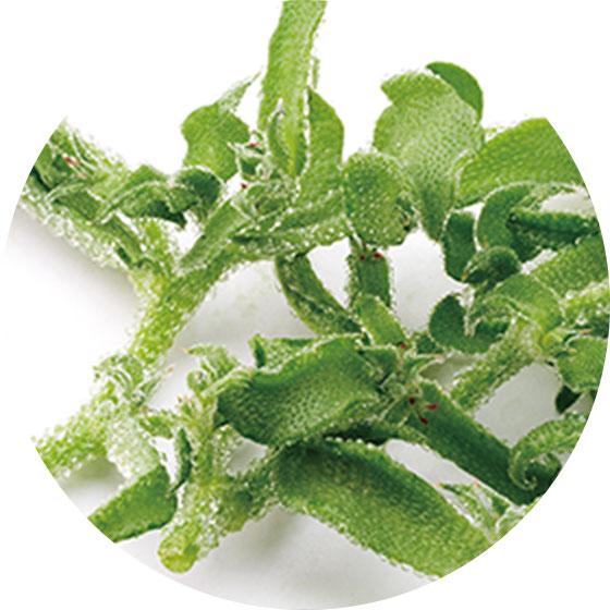 バラフ* - 南アフリカ原産の植物「アイスプラント」を野菜化した佐賀大学ブランド商品『バラフ(R)』から得られる成分です。コラーゲンの1.3倍保湿力があり、角質層の保水力を高めます。(*表示名:メセムブリアンテムムクリスタリヌム液汁)