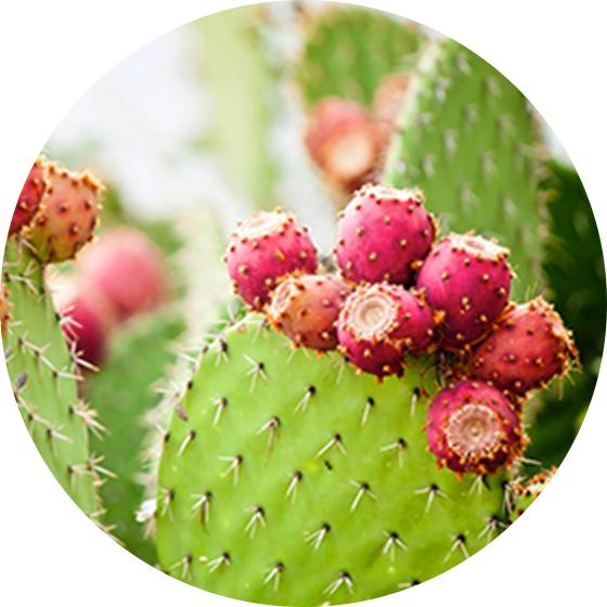 ウチワサボテンオイル* - メキシコ原産のウチワサボテンの一種から抽出したサボテンエキスです。サボテンに含まれる豊富な保湿成分が肌にうるおいと滑らかさを与え、洗い流しても潤いが持続します。(*表示名:オプンチアフィクスインジカ茎エキス)