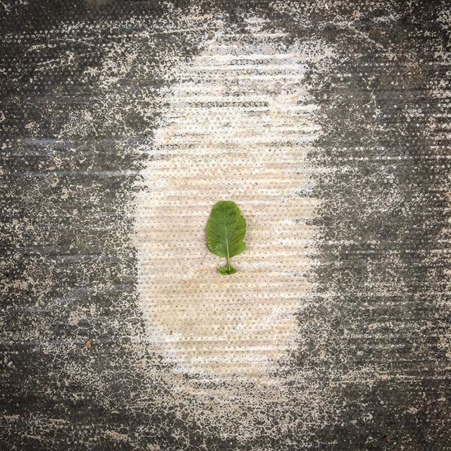 Radish leaf #100days #100dayproject #100daysoflookingdown #avantgardener #garden #gardening