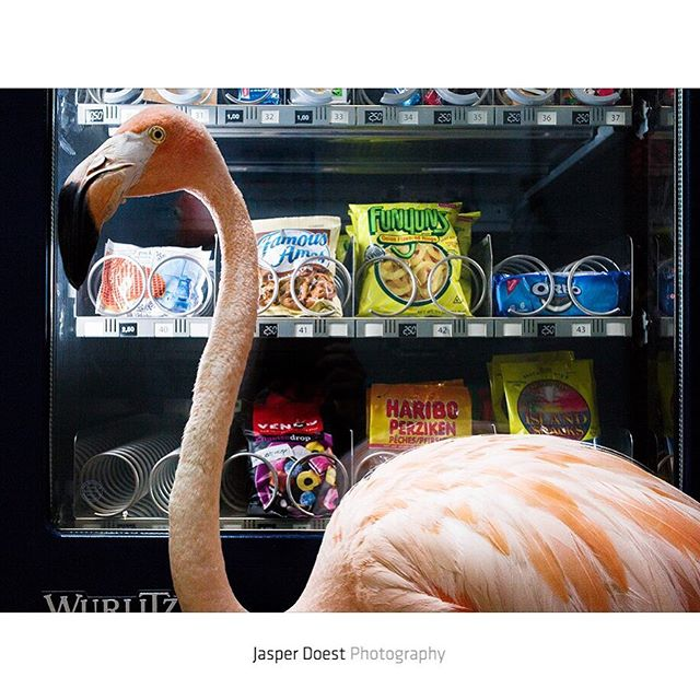 Odette (@vetdoest) recognises that Bob likes to explore new things as he passes a vending machine in the hallway of the CBA television studios. She would rather see the bird in his natural environment, but realizes that he would never be able to survive out there. However, the idea that the bird is playing an important role in flamingo conservation in the Caribbean comforts her and in the meantime Bob seems to enjoy his new lifestyle and likes being pampered.  Not that he cares for these human snacks as he has to stay in shape. But in less than three months Bob might have become the most pretentious flamingo around. He won't accept crustaceans like normal flamingo's do, but rather prefers the capelin caviar that Odette feeds him.  The story about rescue flamingo Bob and veterinarian Odette Doest was recently published by National Geographic, who are currently celebrating 'the year of the bird'. Follow me @jasperdoest, @vetdoest and @fdoccuracao for more images of Bob.