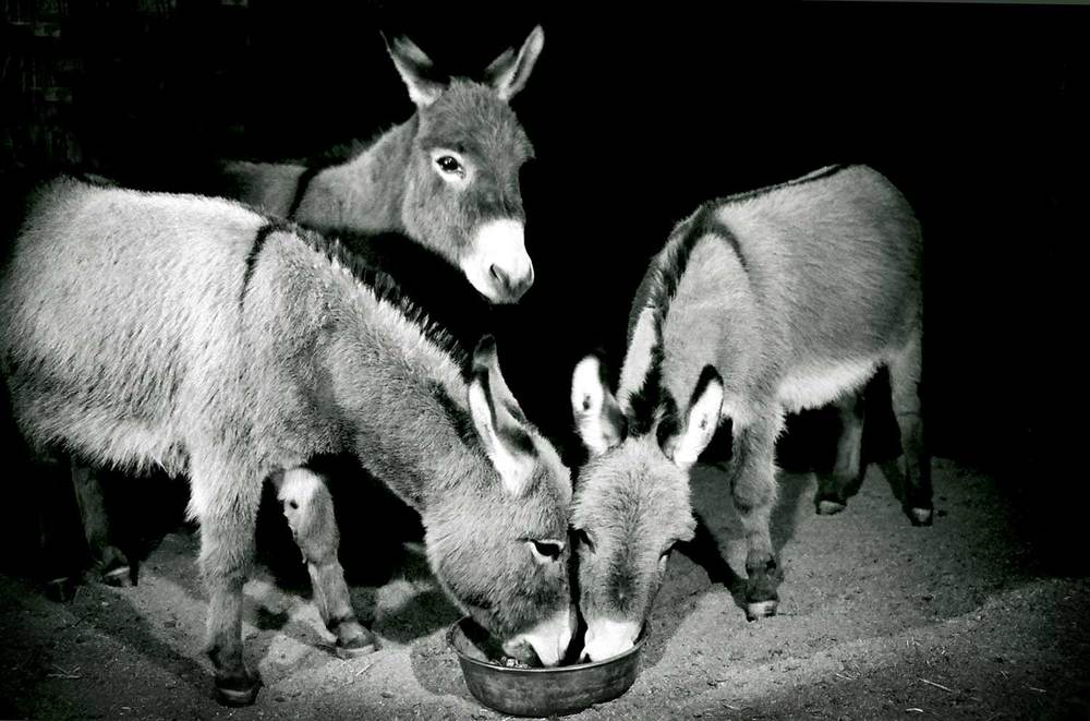 PINYON DONKEYS