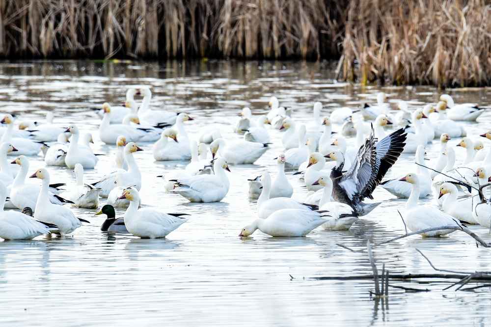 Snow Geese - photo, Ken Miracle