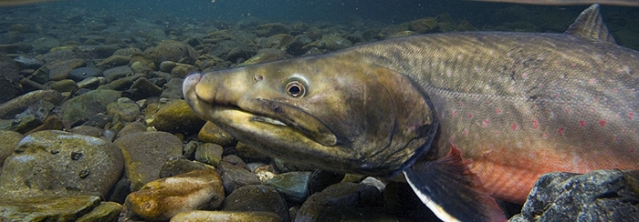 bull trout.jpg