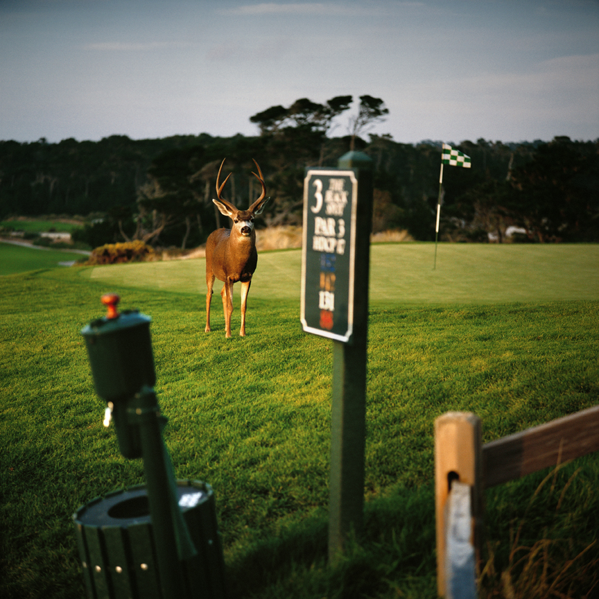 KN 4. LOST BALLS - Blacktail Deer in Rutt on Golf Course.jpg
