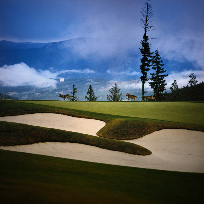 KN 28. LOST BALLS - Wolves on Golf Course. Montana. .jpg