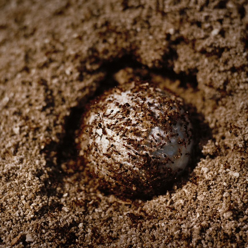 KN Fire Ants on Golf ball.jpg