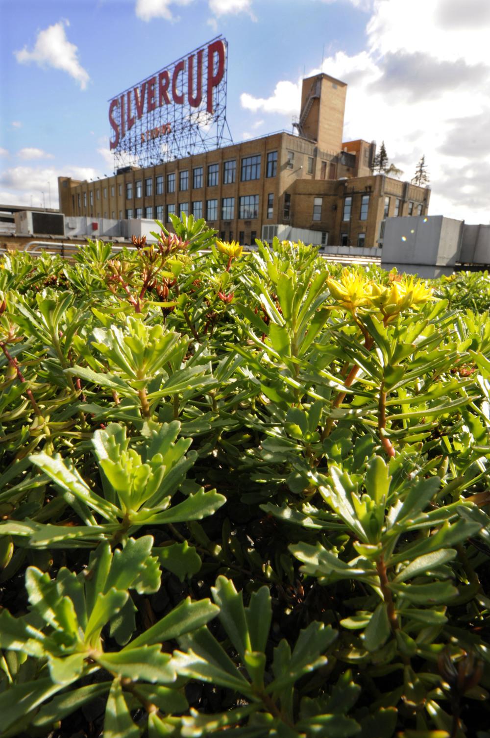BA_Silvercup_Planting 1_Mark Dye.jpg