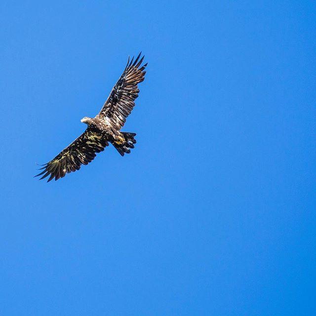 Blue bird sky. 📸@adrienmullin • • • • • • • #baldeagle #eagle #sunshine #pnw #wildlife #greatbearrainforest #conservation #eco #nature #river #forest #ocean #outdoors #stoptrophyhunting #bc #explorebc