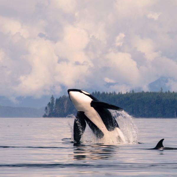 📸@adrienmullin • • • • • • #orca #orcinus #breechingorca #pnw #wildlife #greatbearrainforest #conservation #eco #nature #ocean #stoptrophyhunting #bc #explorebc #naturelovers