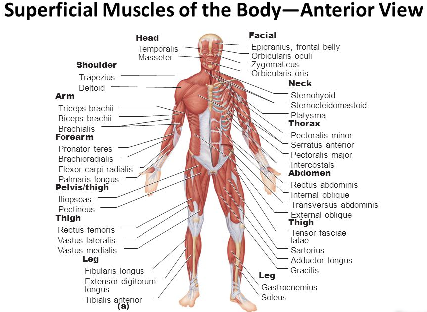 musculoskeletal system pure home essentials