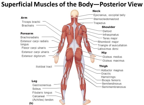 musculoskeletal system — pure home essentials, Human Body