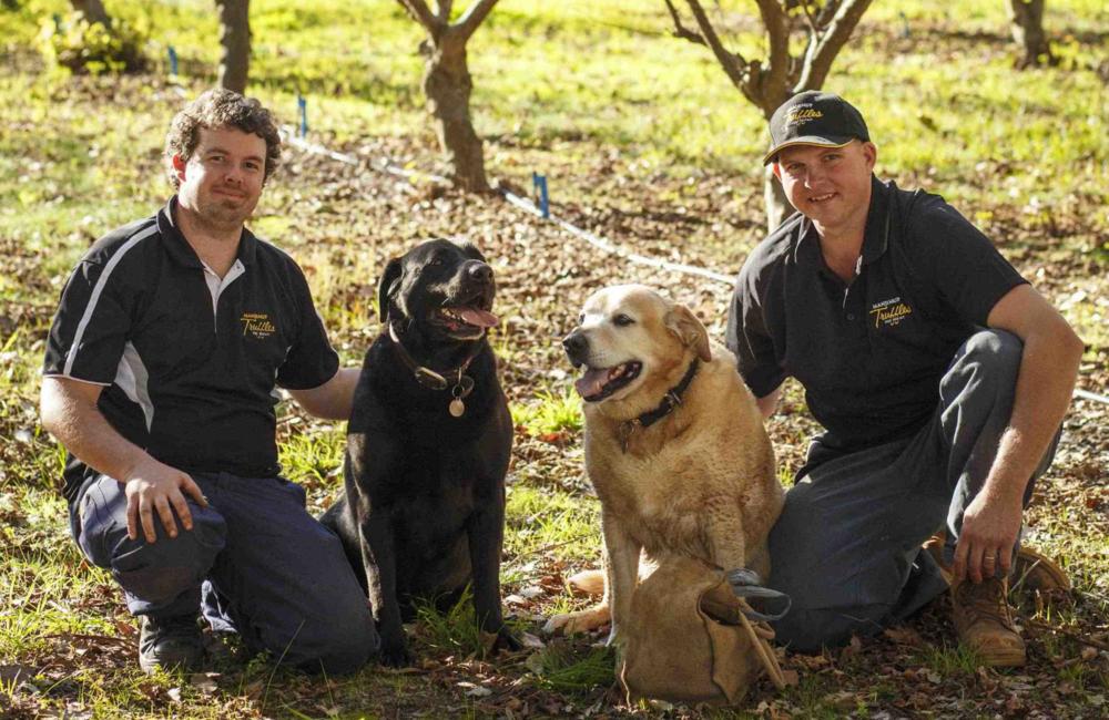 Truffle dogs, Manjimup