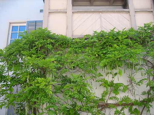 Glyzinie am Balkon