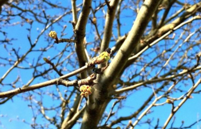FIRST SIGNS OF SPRING budding IN ARVERNE, NY (MARCH 26, 2016)