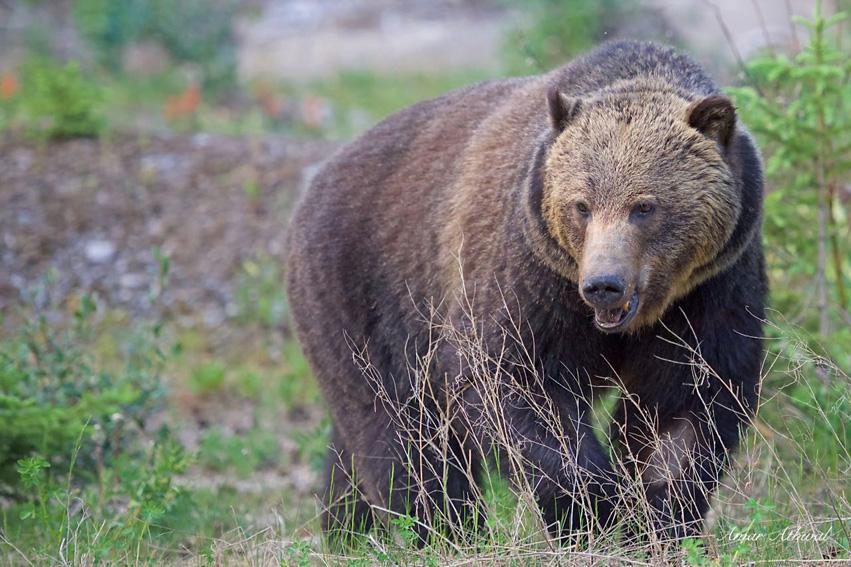 Grizzly 151002f Amar Athwal.jpg
