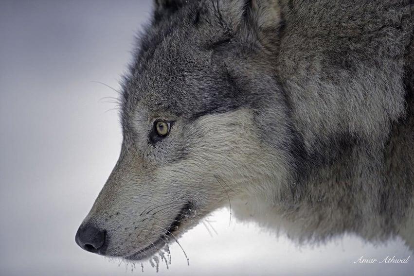 Gray Wolf 160108f Amar Athwal.jpg