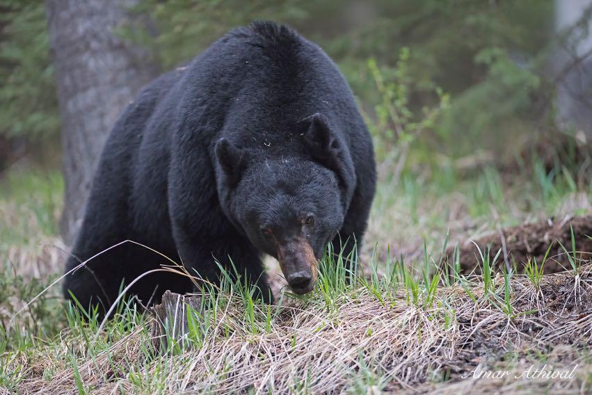 Black Bear 160501f Amar Athwal.jpg