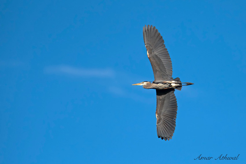 Great Blue Heron 160615f Amar Athwal.jpg