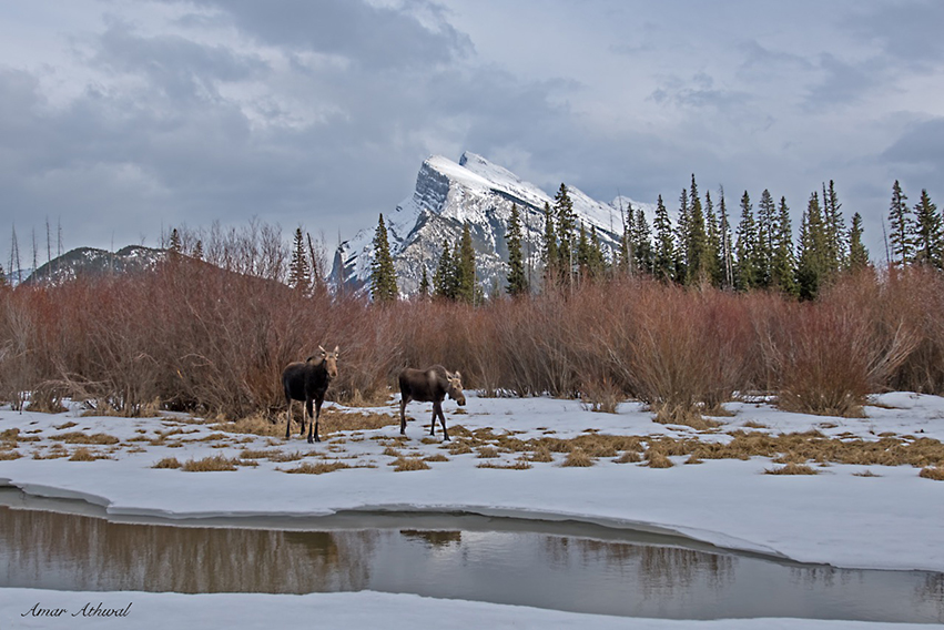 Moose and Mount Rundle