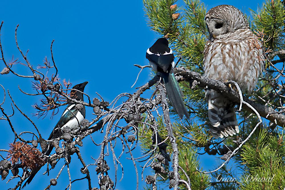Barred Owl 170521f Amar Athwal.jpg