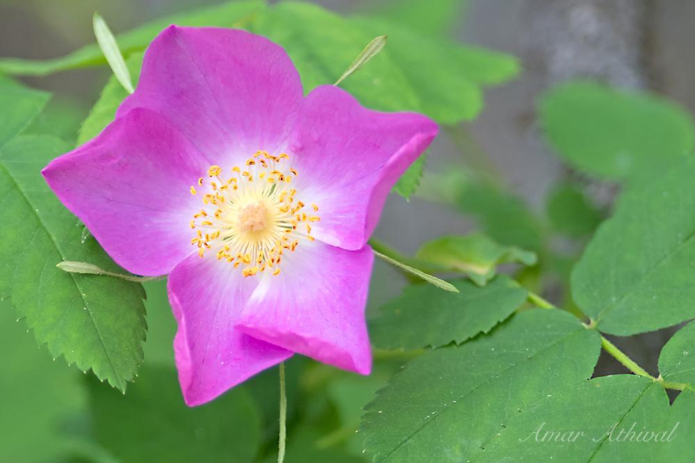 Wild Rose 170626 Amar Athwal.jpg