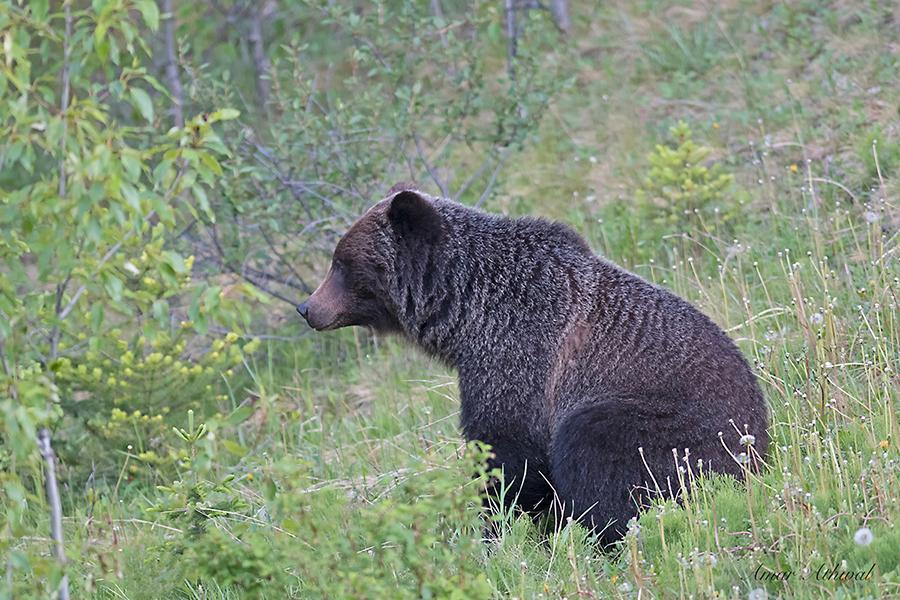 Grizzly 170818 Amar Athwal.jpg