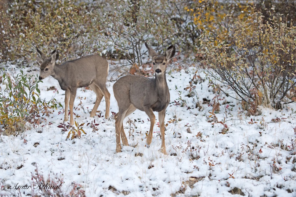 Mule Deer 171014f Amar Athwal.jpg